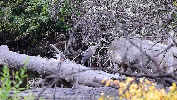 9-09-15 Bella Coola Videos - Blue Heron