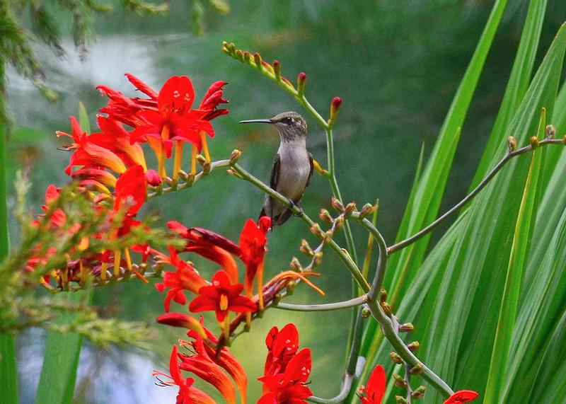 hummingbird crocosmia.jpg