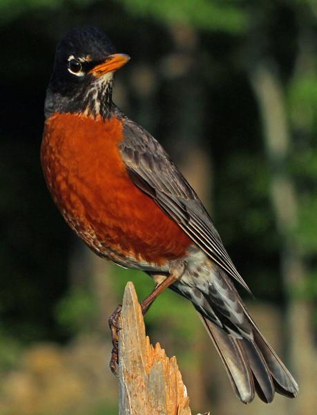 Robin in the Back Yard