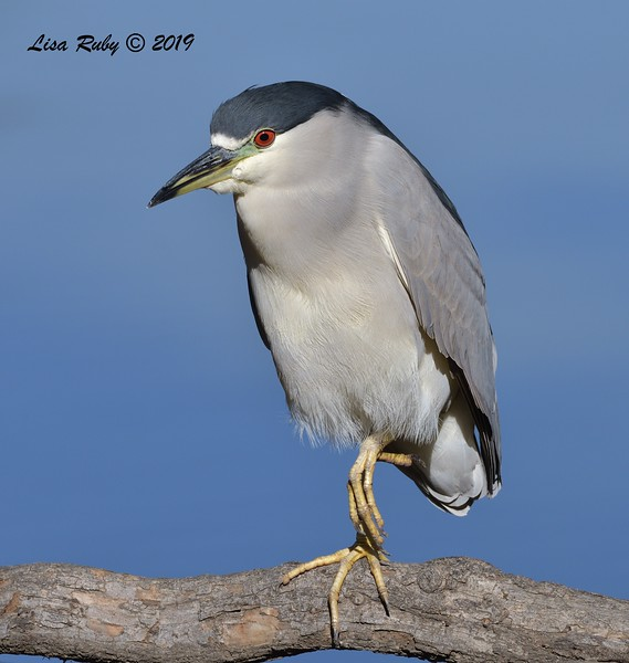 Black-crowned Night Heron  - 12/01/2019 - Lindo Lake