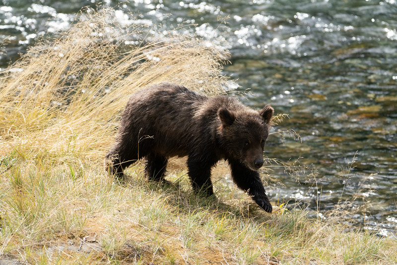 BC-Grizzly-Bears-09568.jpg