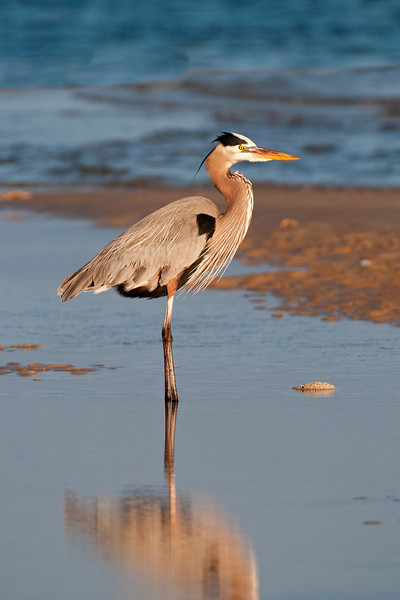 Heron - Great Blue - St. George Island State Park, FL - 06
