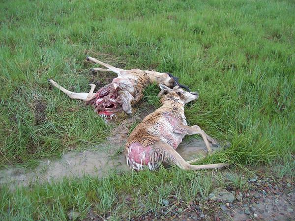 antelope rescue
