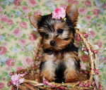 9. MORKIE Puppies Photo and Videos