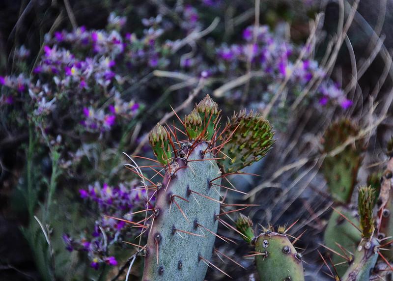 NEA_7057-7x5-Prickly Pear Growth.jpg