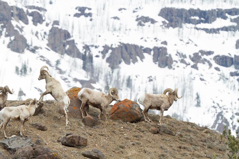 Bighorn rams bachelor herd near Soda Butte Yellowstone National Park WY IMG_6758.jpg