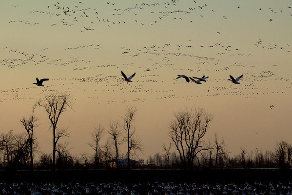 Geese-2012-01-06