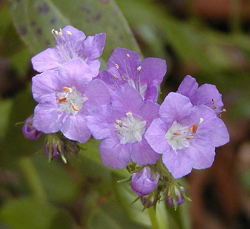 19 Purple-Phacelia.jpg
