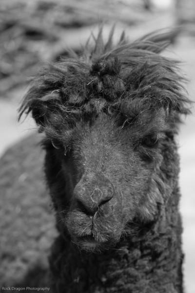 A llamaA llama in the Sacred Valley, Peru.