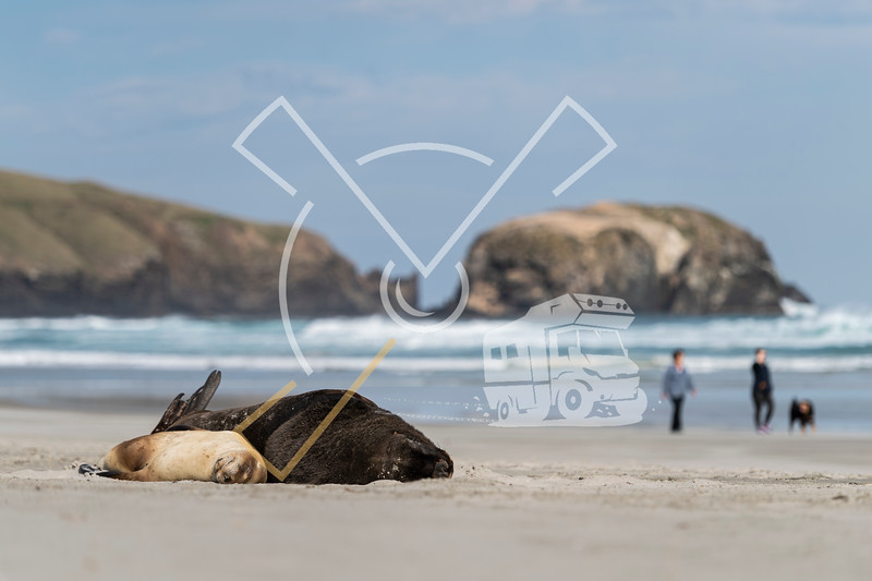 Couple of New Zealand Sea lions resting on Allans beach on the Otago Peninsula