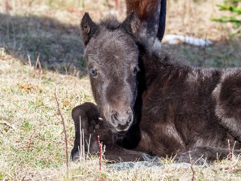 73 Apr 09 Grayson Highlands Foal (1 of 1).jpg