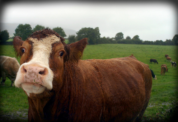 Cattle Meet &  Greet, County Clare, Ireland