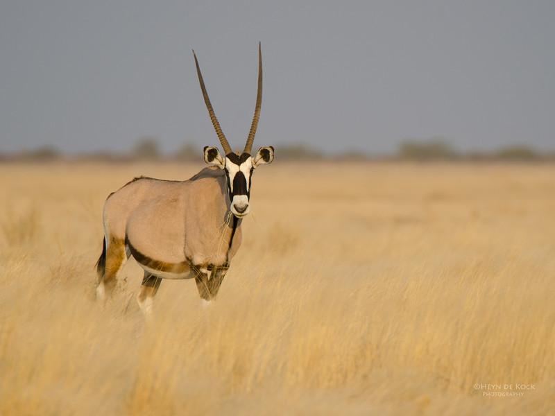 Gemsbok, Etosha NP, Namibia, July 2011-1.jpg