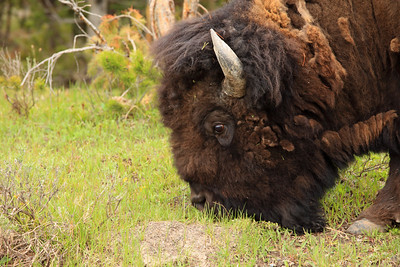 Buffalo  Yellowstone