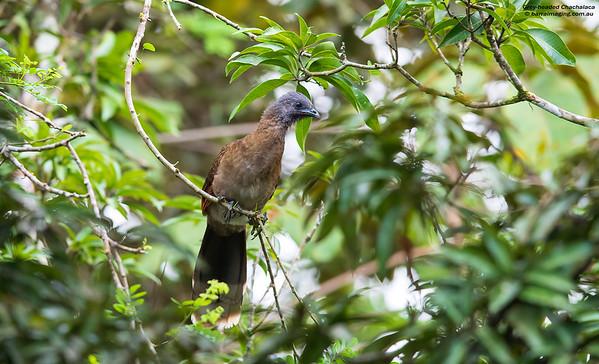 Grey-headed Chachalaca Ortalis cinereiceps