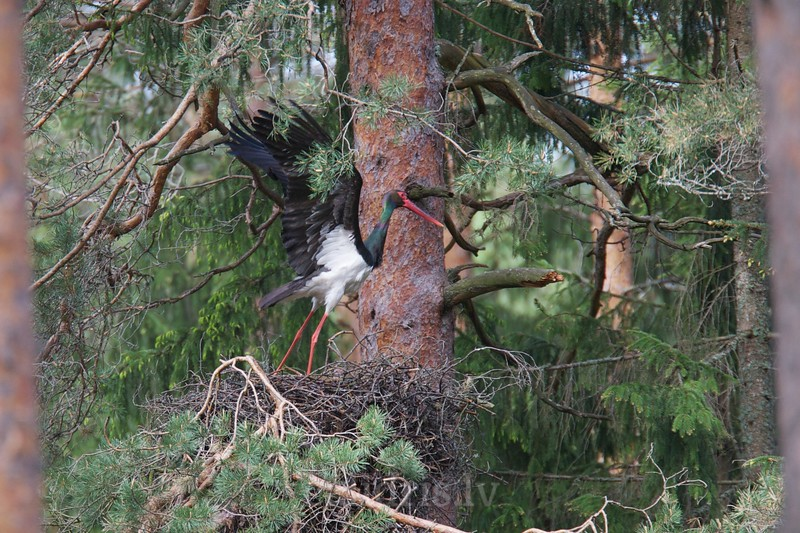 Black Stork in a nest