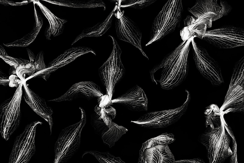 odontoglossums.jpg