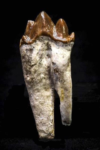 #8322 4,9 cm Basilosaurus sp. Fossil Rooted Molar.