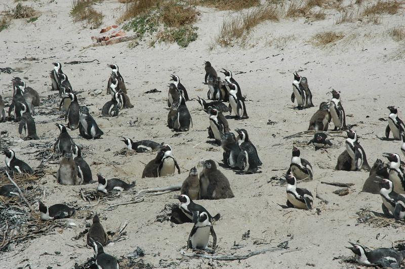 Penguins at Boulders - Leslie Rowley