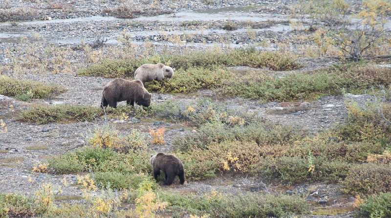 Brown bear and two cubs (probably 2-years old).