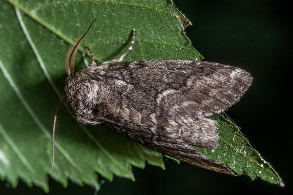 Prominent moths (Notodontidae)
