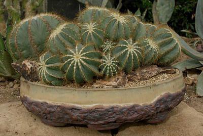 Notocactus Magnifica