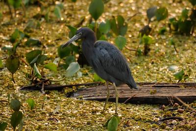 Little Blue Heron Egretta caerulea. Transpantaneira, Mato Grosso, Brasil.