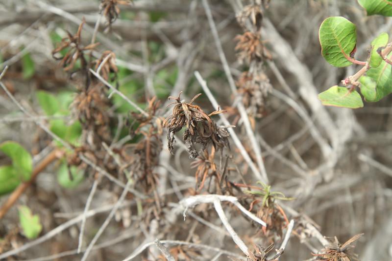 Sticky Monkey Flower, Mimulus aurantiacus, plant No. 2.