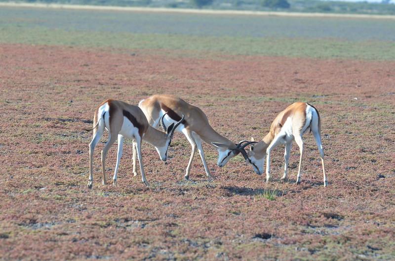 26 - Just watching the tussle - Springbok - Kalahari - Anne Davis
