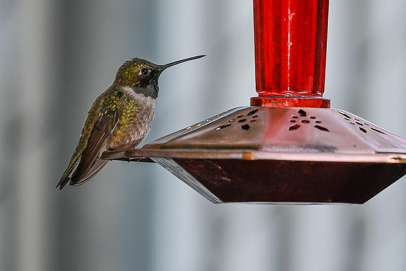 21MayHummingbirds (53 of 53).jpg