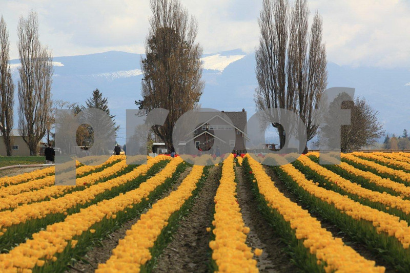 Tulips rows 3261.jpg