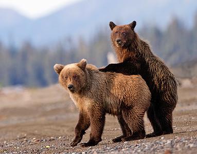 Alaska Brown Bears 2015