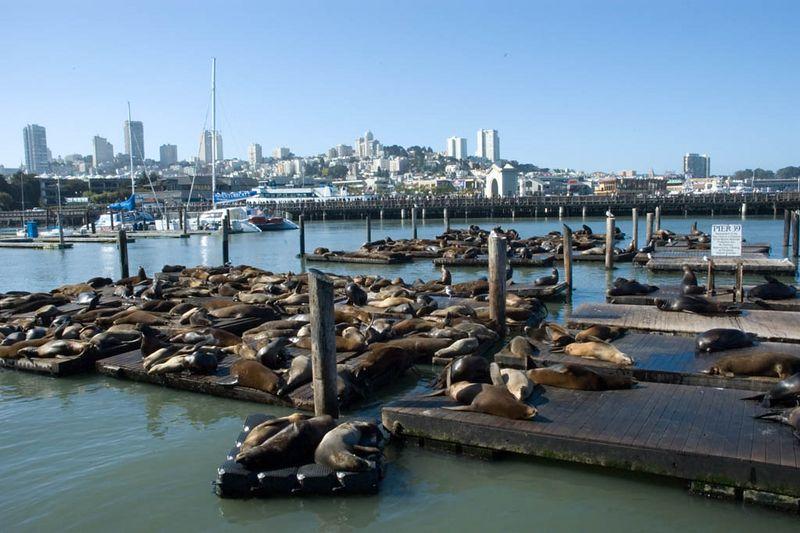 The Sea Lions of San Fran's pier 39