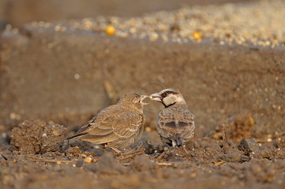 Ashy-crowned Sparrow-lark, (Eremopterix grisea) or the Ashy-crowned Finch-lark feeding in a feeder in Gujarat