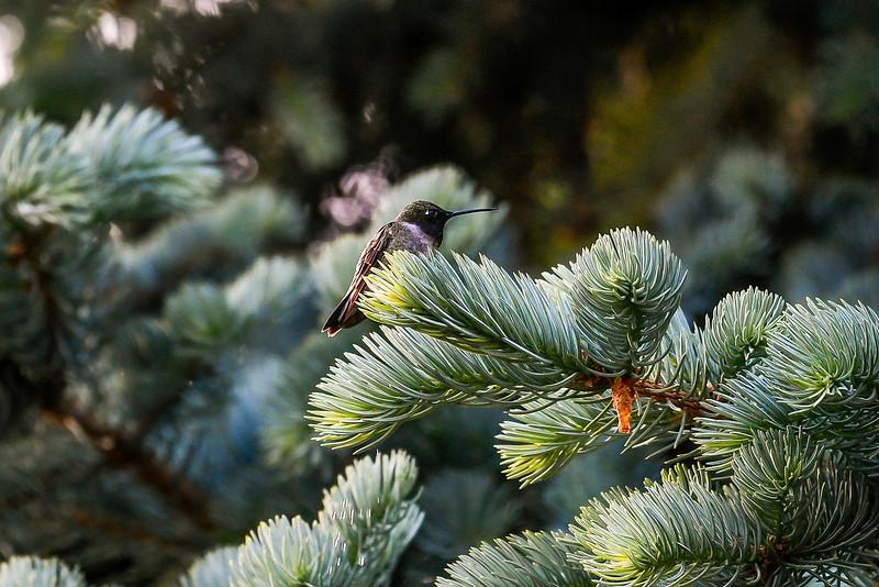21MayHummingbirds (5 of 53).jpg