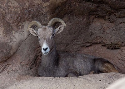 Big-horn Sheep