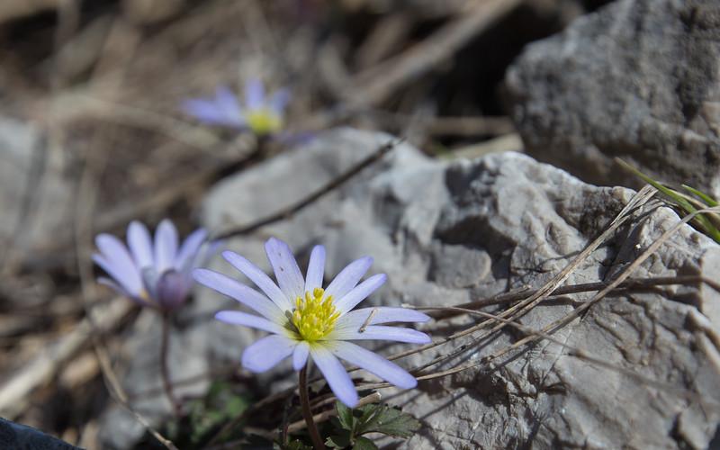 aladaglar, anemone caucasica