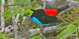 Sacha Lodge, Ecuador with FIELD GUIDES BIRDING TOURS