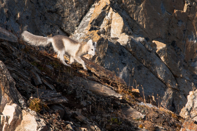 Arctic Fox, Descending