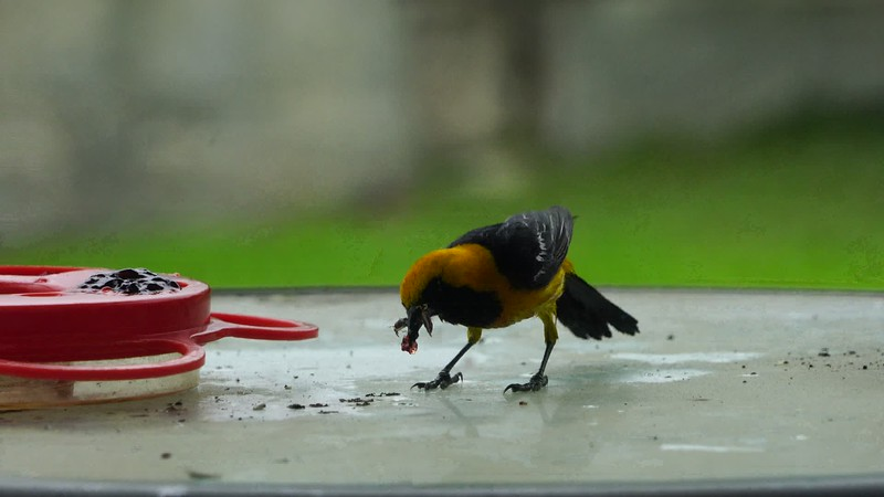 Male Hooded Oriole