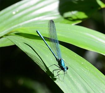 Odonata of Uganda