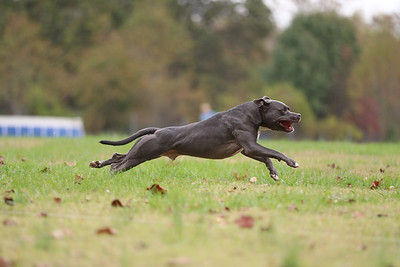 Lure Coursing 10/30/16
