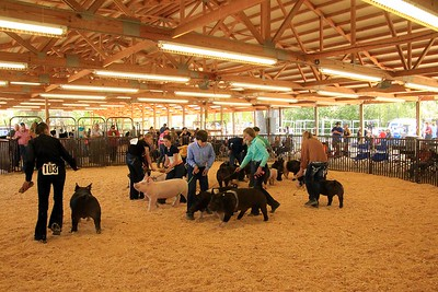 Intermediate Swine Showmanship Sat
