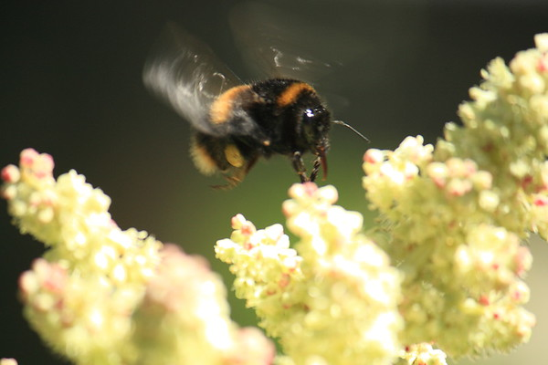 Bombus terrestris and rhubarb flower in New Zealand