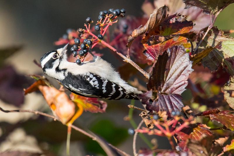 Downy Woodpecker Cape May -1.jpg