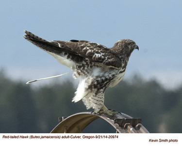 Red-tailed Hawk A20974.jpg
