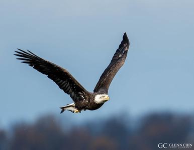 Bald Eagles 2014