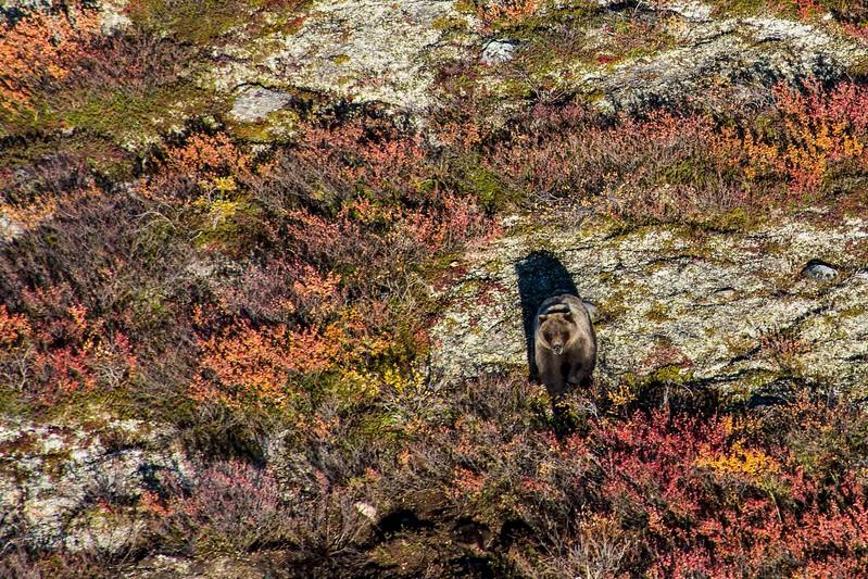Griz on the Tundra