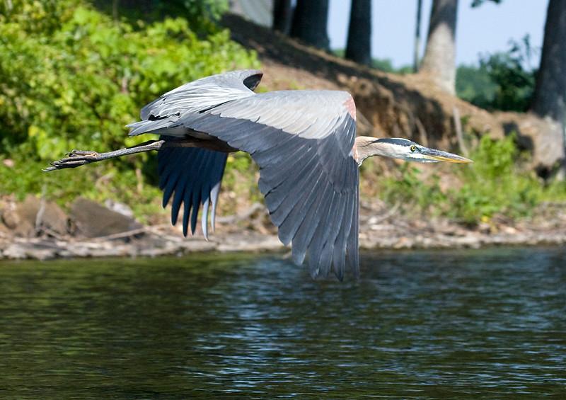 great-blue-heron-in-flight-5_3684006347_o.jpg