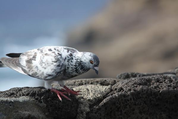 Birds - Hawaii